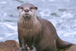 Otter-cape clawless